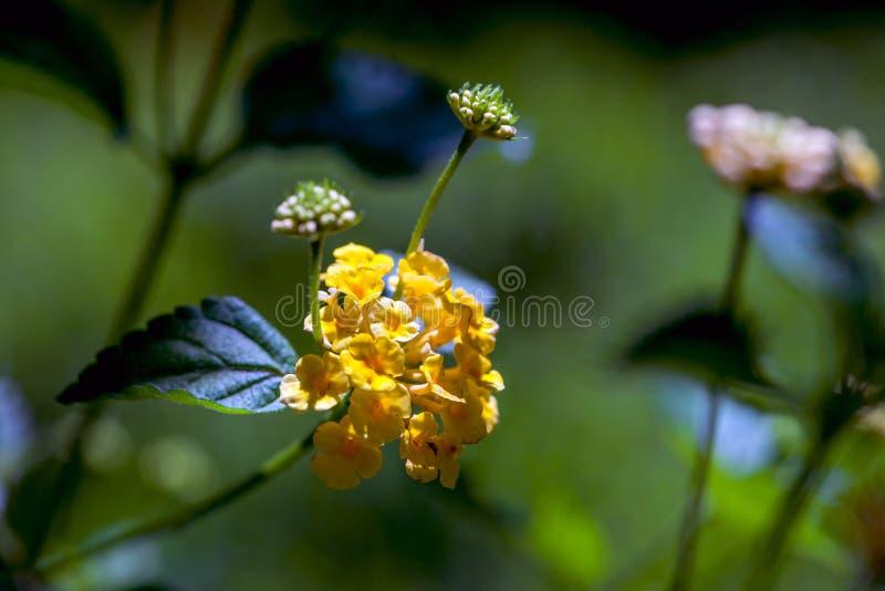 与芽的小黄色花 库存照片
