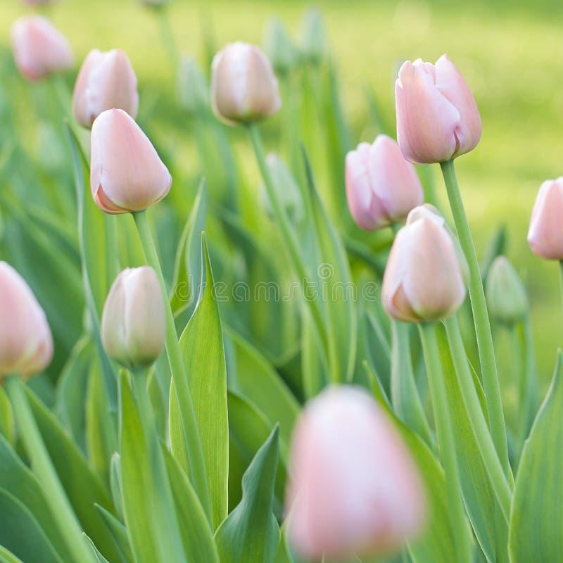 与芽的桃红色郁金香在庭院里 库存照片