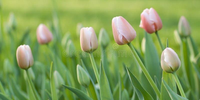 与芽的桃红色郁金香在庭院里 免版税库存照片