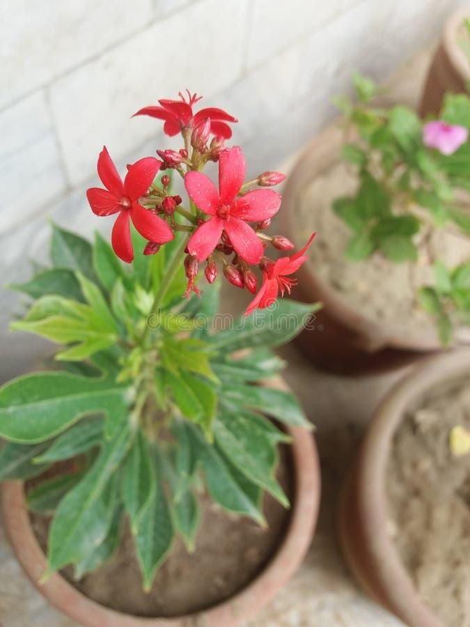 与芽的红色花 免版税图库摄影
