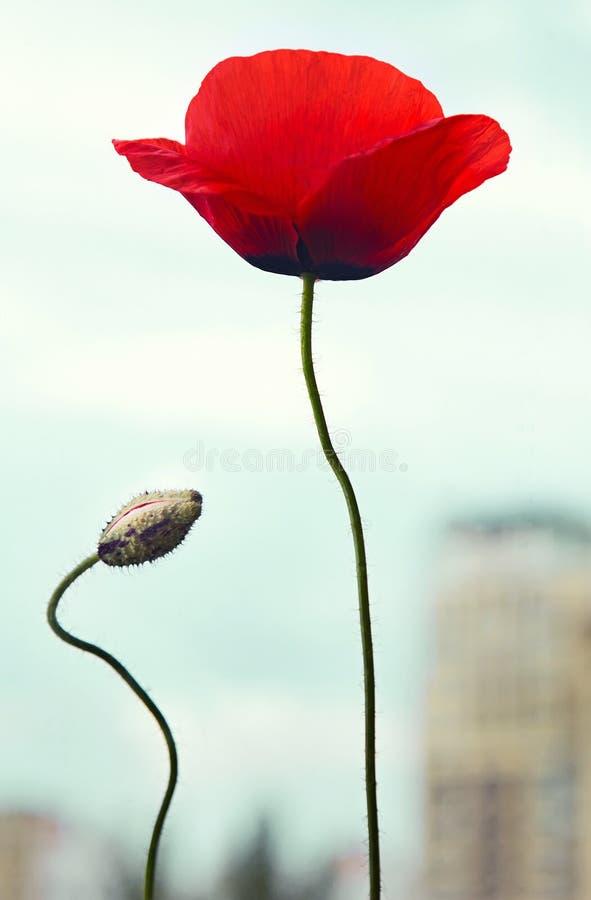 与芽的红色鸦片花在都市看法 库存照片