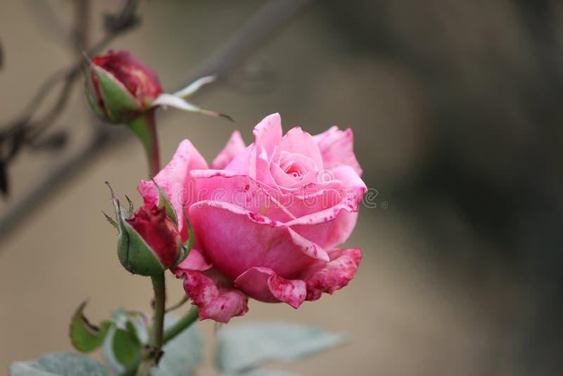 与芽的美丽的桃红色玫瑰 库存照片