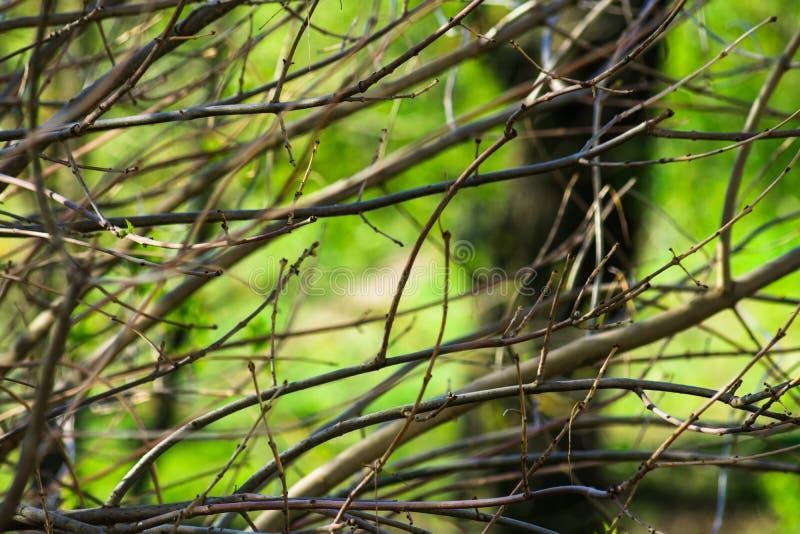 与芽的赤裸树枝在春天绿化叶子背景,唤醒自然,宁静 免版税库存照片