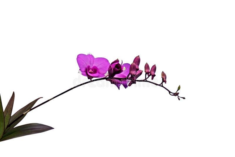 与芽的紫色兰花花在白色背景,截去的帕特 免版税图库摄影