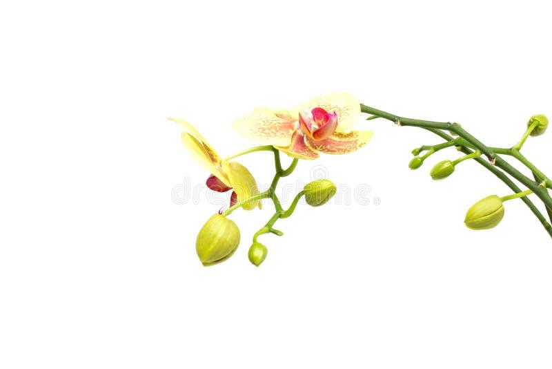 与芽黄色兰花在白色背景,孤立,装饰的美好的分支 库存照片