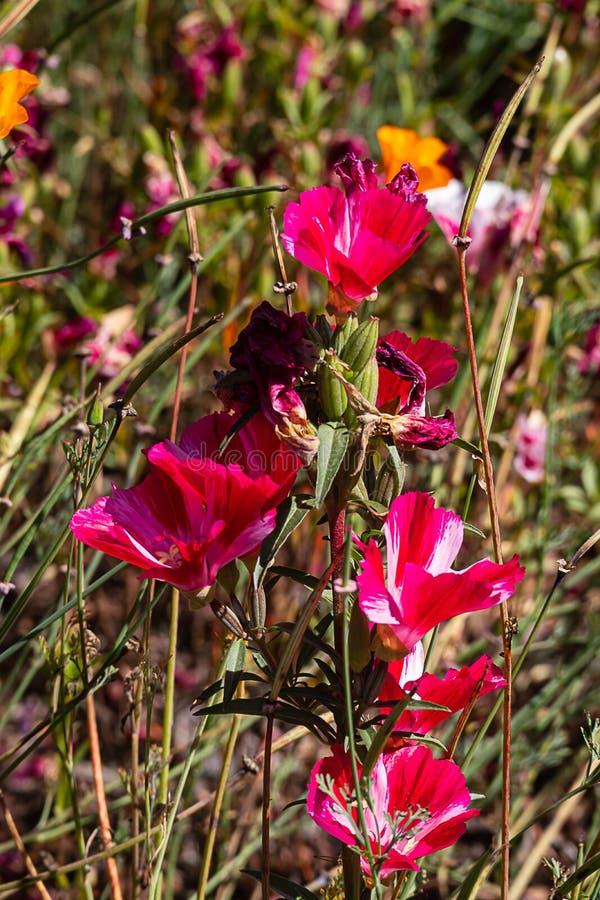 与芽,绽放和种子荚和叶子的流行粉红和白色clarkia, 库存照片