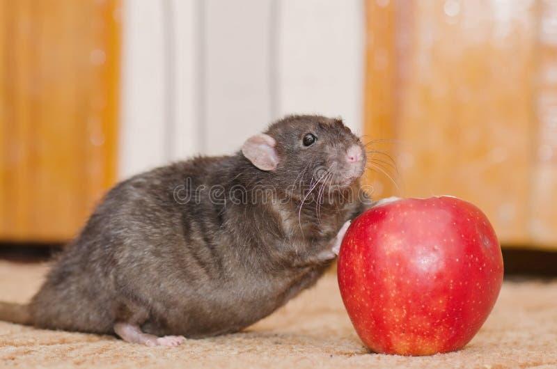 与苹果计算机的鼠 库存照片
