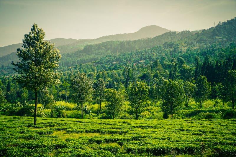 与茶园的绿色山和与天空的大树作为背景 库存图片