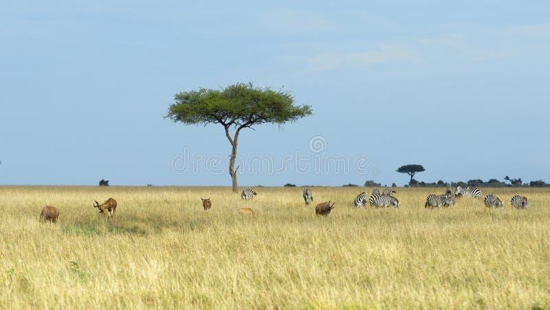 与草原浩大的浩瀚的一棵Acai树有牧群斑马的和几在前景的遮阳帽 免版税库存图片