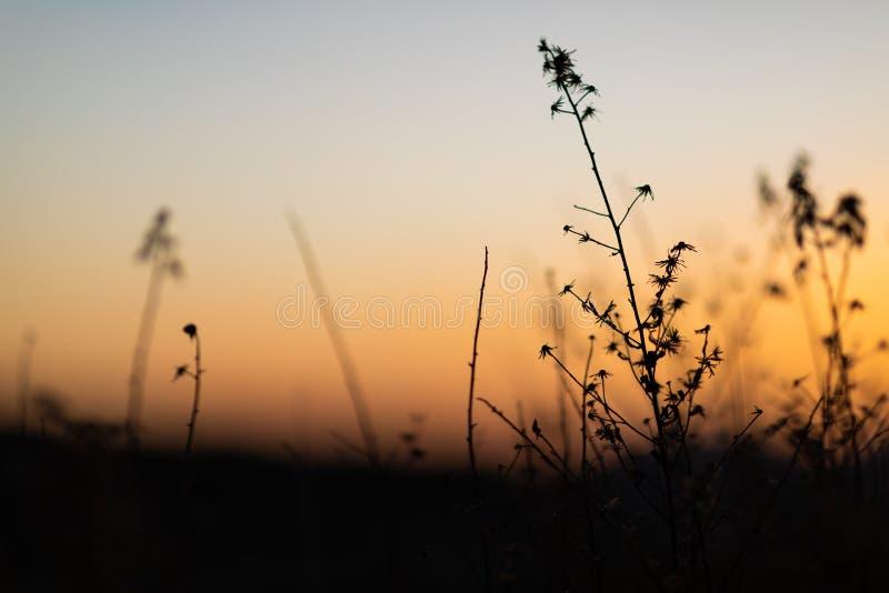 与草本和植物剪影的日落视图  免版税库存照片
