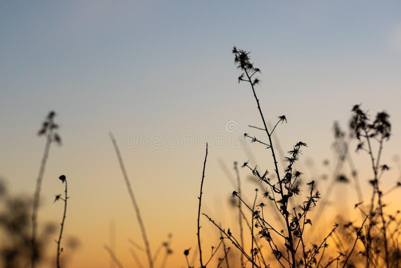 与草本和植物剪影的日落视图  免版税库存图片