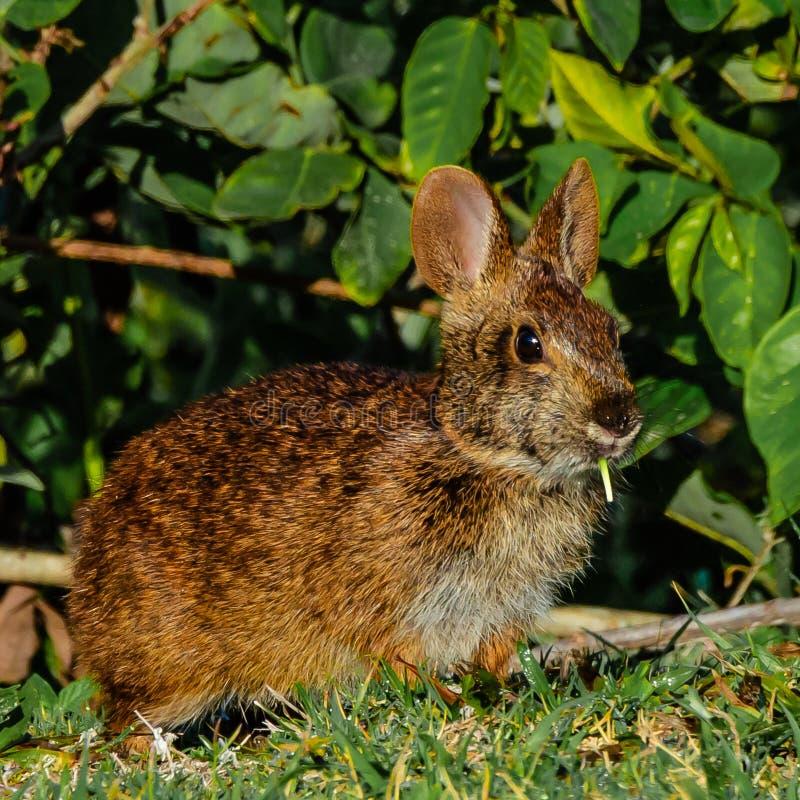 与草的兔宝宝早餐 库存图片
