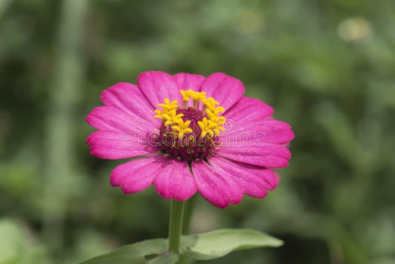 与草的桃红色花 库存图片