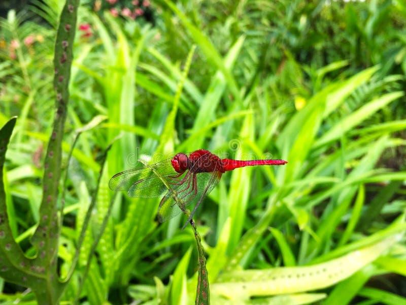 与草的蜻蜓在绿色领域 库存图片