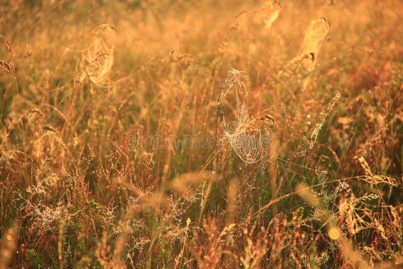 与草的领域的夏天在太阳的风景和蜘蛛网点燃在黎明 库存照片