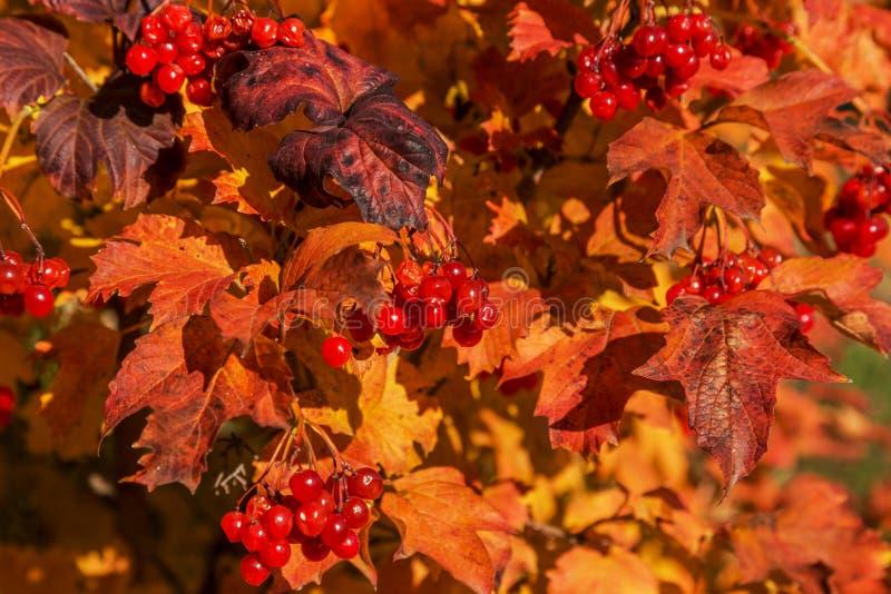 与荚莲属的植物明亮的叶子的红色成熟花束在秋天的 Aut 库存照片