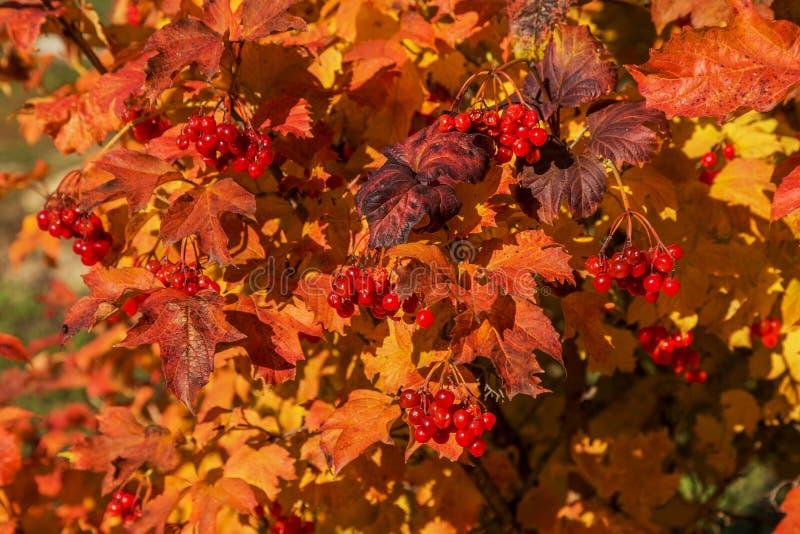 与荚莲属的植物明亮的叶子的红色成熟花束在秋天的 Aut 免版税库存图片