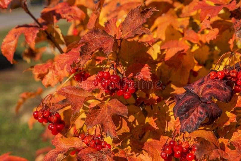 与荚莲属的植物明亮的叶子的红色成熟花束在秋天的 Aut 图库摄影