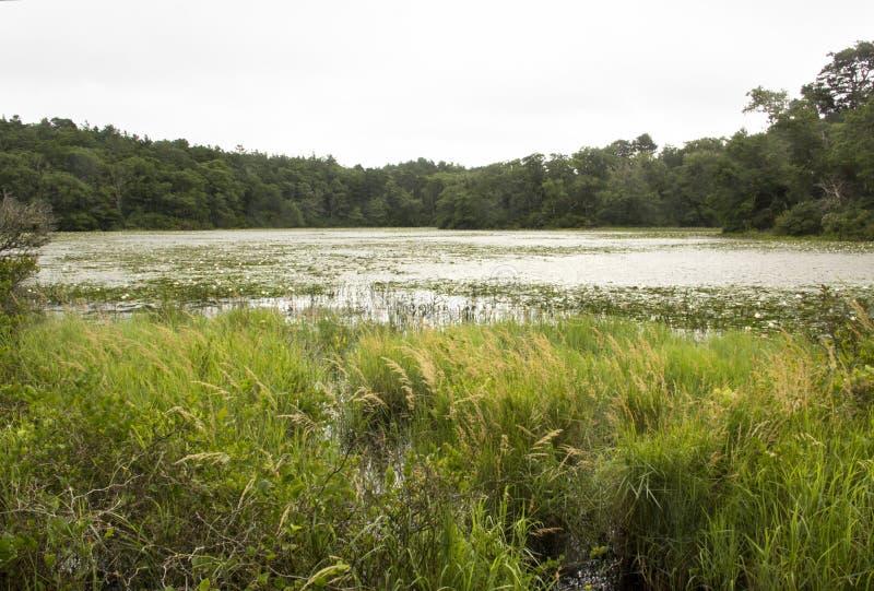 与荷花的沼泽在尼克松国家公园在马萨诸塞 库存图片