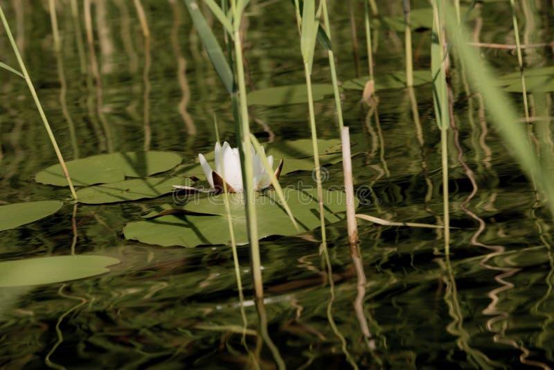 与荷花花的湖表面在俄罗斯 免版税库存照片