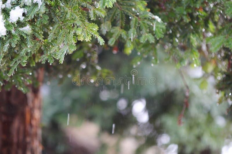 与落的雪的红木树 免版税库存照片