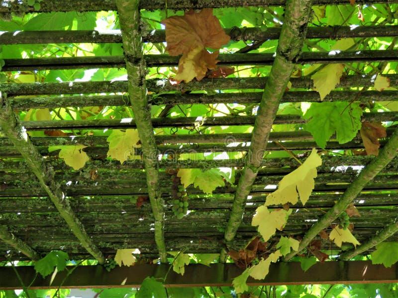 与葡萄树的一个格子 库存图片