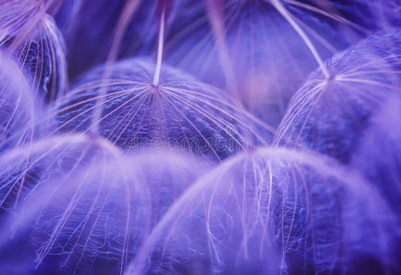 与蒲公英花的美好的自然本底与蓬松l 免版税库存图片