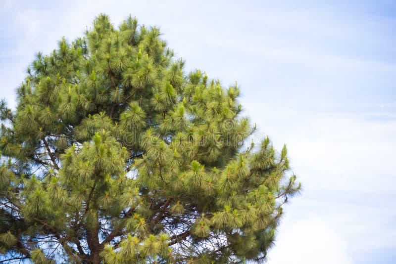 与蓝天的杉树 库存照片