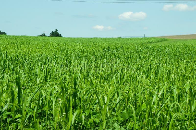 与蓝天的绿色大麦地在天际 图库摄影