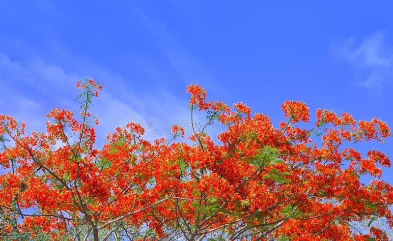 与蓝天的美丽的孔雀花 库存照片