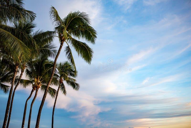 与蓝天的美丽的棕榈树在威基基檀香山夏威夷 免版税库存照片