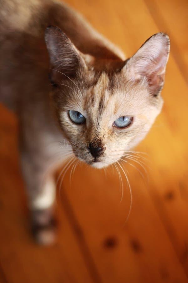 与蓝天眼睛的猫 免版税库存照片