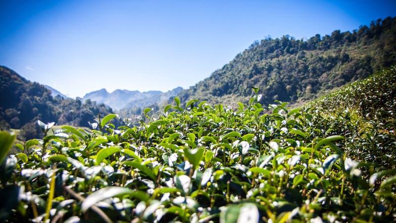 与蓝天,泰国,过滤器作用的绿色茶叶 免版税库存图片