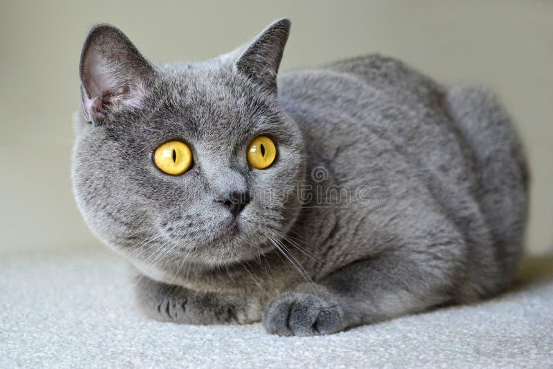 与蓝灰色毛皮的英国shorthair猫 图库摄影