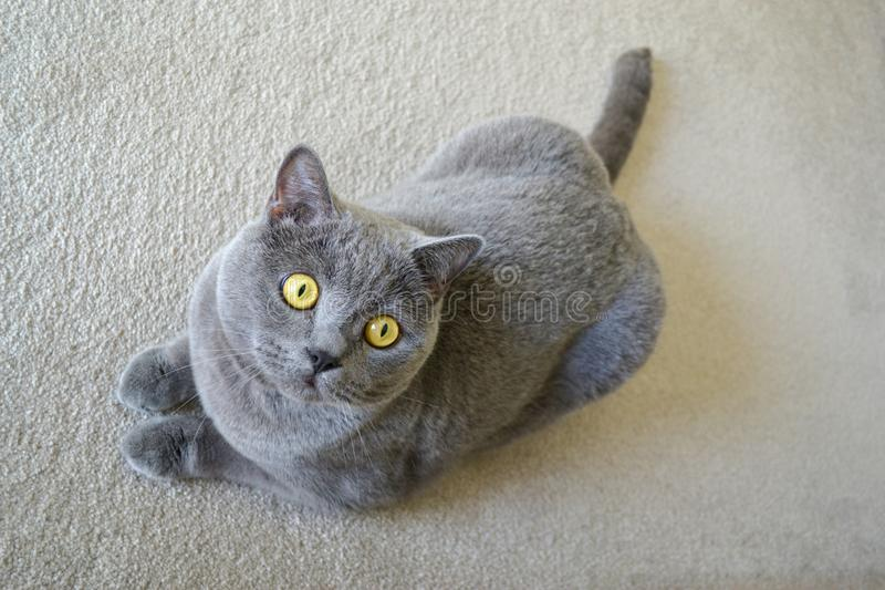 与蓝灰色毛皮的英国shorthair猫 免版税库存照片