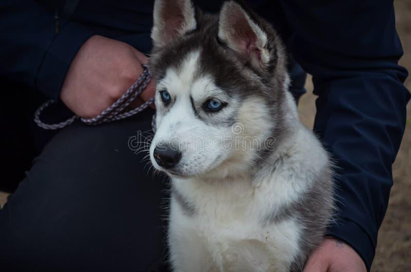 与蓝眼睛的一只逗人喜爱的多壳的小狗在调查距离的大师的腿旁边坐 第一次狗展示 库存图片