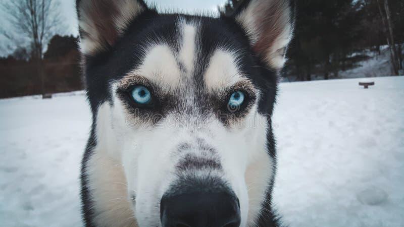 与蓝眼睛的多壳的小狗 库存照片