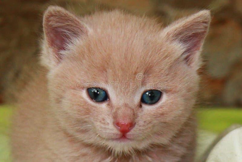 与蓝眼睛的姜小的小猫在绿色背景 免版税库存图片