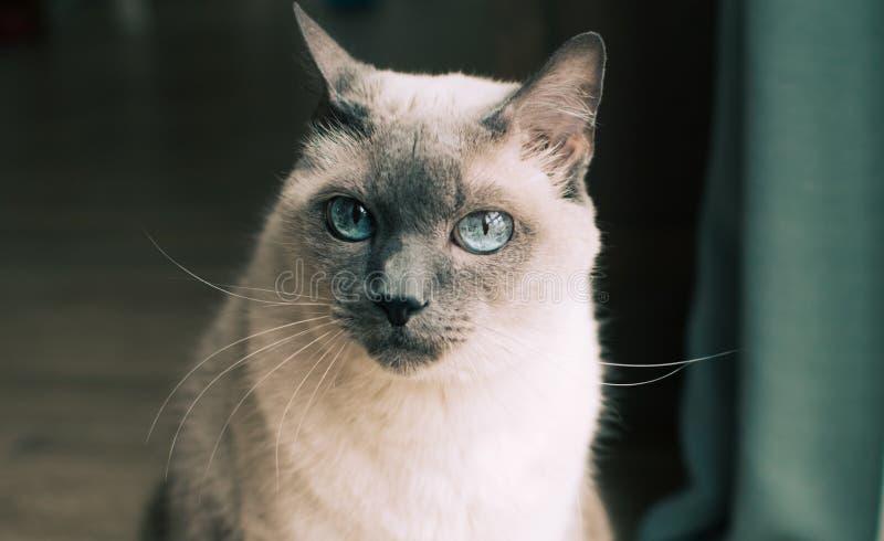 与蓝眼睛的泰国猫 免版税库存图片