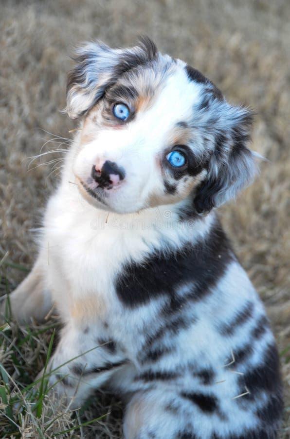 与蓝眼睛的澳大利亚牧羊人小狗 免版税库存照片图片