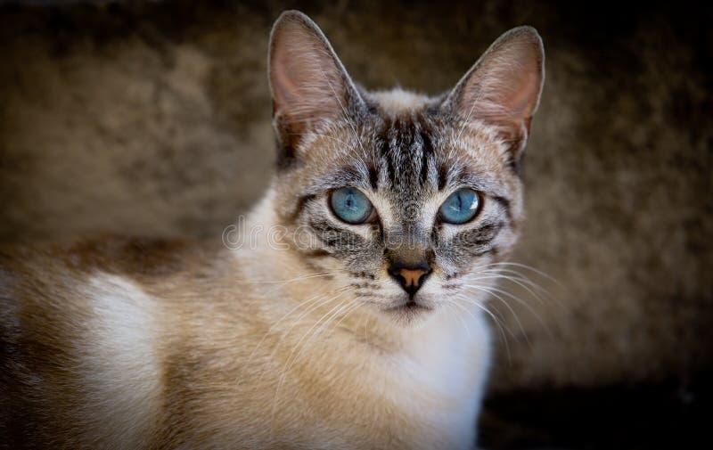 与蓝眼睛的猫 库存照片