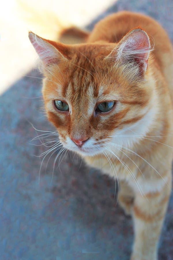 与蓝眼睛的红色猫在沥青 免版税库存照片