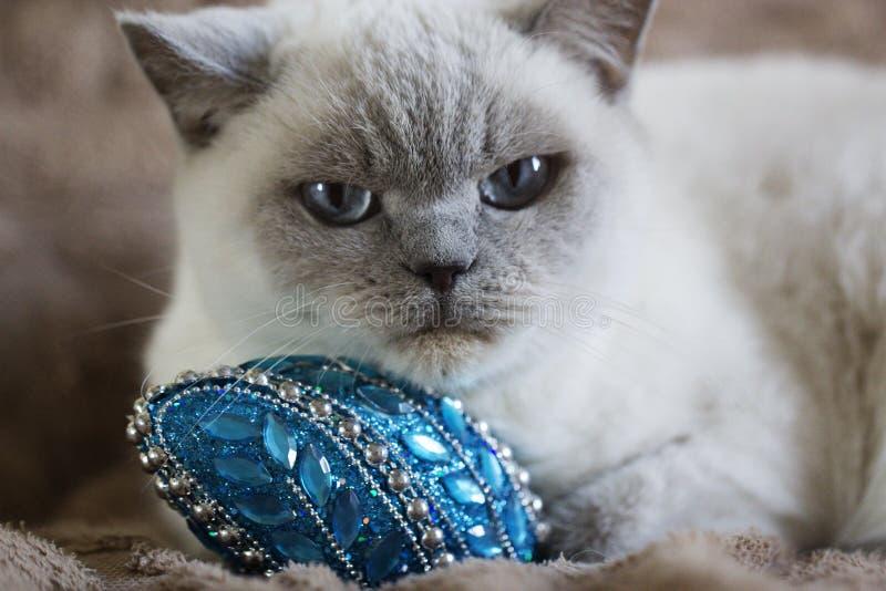 与蓝眼睛的英国白色猫 库存照片