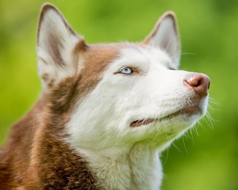 与蓝眼睛的褐色和白色多壳的面孔画象 免版税库存照片