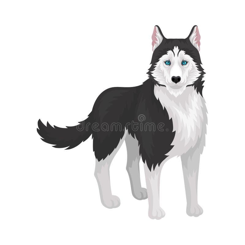 与蓝眼睛的西伯利亚爱斯基摩人,白色和黑纯血统狗动物,正面图在白色背景的传染媒介例证 库存例证