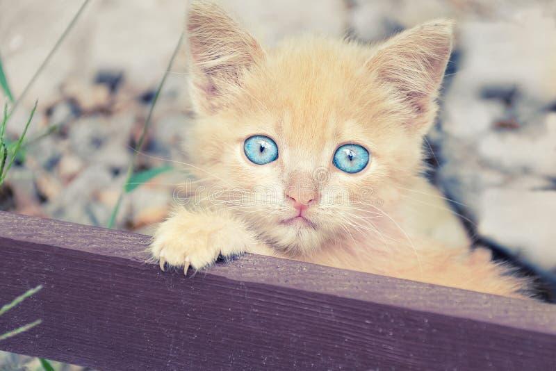 与蓝眼睛的迷人的矮小的桃色的小猫在篱芭上把他的爪子放 免版税库存照片