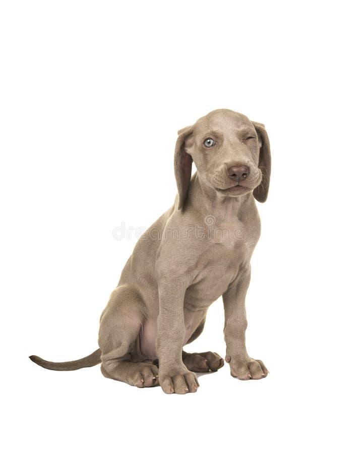 与蓝眼睛的逗人喜爱的坐的闪光的weimaraner小狗 库存图片