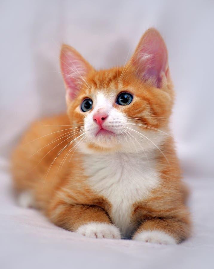 与蓝眼睛的逗人喜爱的姜小猫. 询问, 伴随.图片