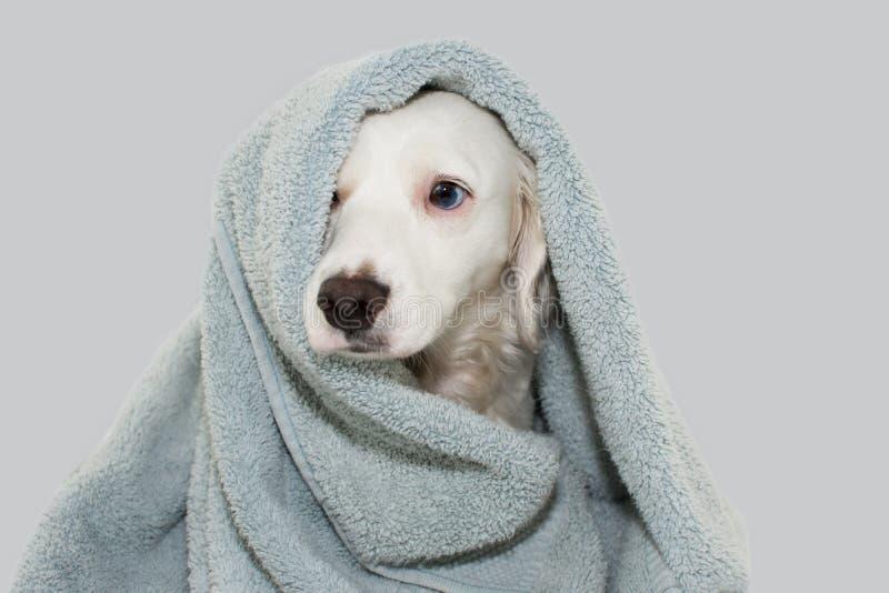 与蓝眼睛的逗人喜爱的狗包裹与等待与一个哀伤的表示的一块色的毛巾浴 被隔绝的AGAINTS灰色背景 图库摄影