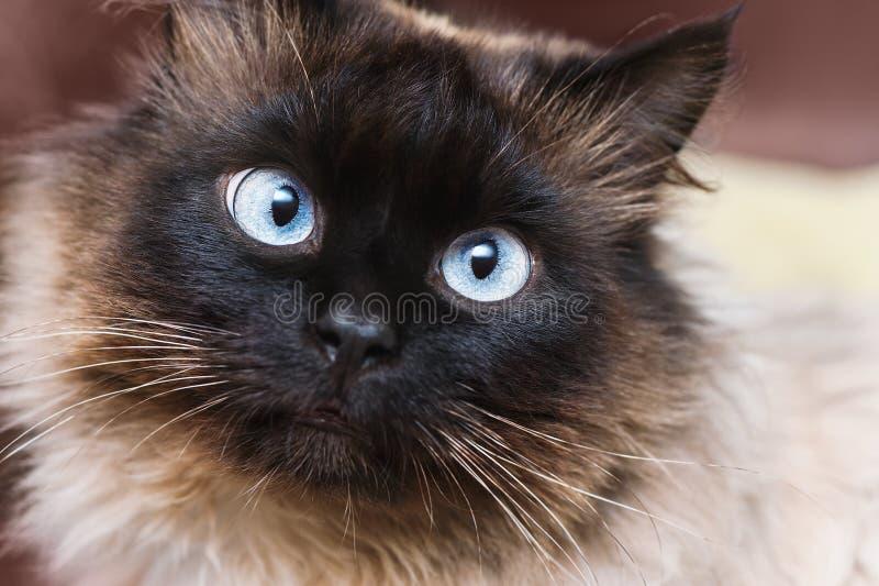 与蓝眼睛的逗人喜爱的猫 库存图片